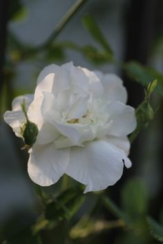 Damask Rose: Rosa 'Rose d'Hivers' (origins unknown)