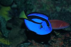 Blue Tang ( Surgeon Fish ) Very much the little beauty and growing fast!