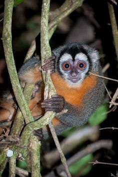 nite monkeys | Black-headed night monkey (Aotus nigriceps), Amazonia Lodge, Peru ...