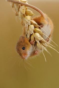 Harvest Mouse, via Flickr. in my experience they are mostly grey and not cute like this!