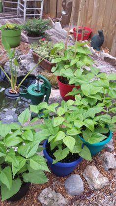 Green beans in my container garden