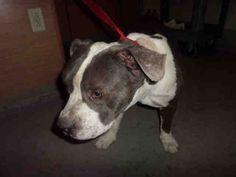 American Pit Bull Terrier dog for Adoption in Modesto, CA. ADN-409853 on PuppyFinder.com Gender: Male. Age: Adult