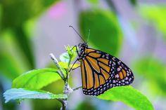 Monarch Butterfly by Pamela Williams