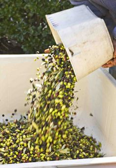 Picholine Olive harvest at B.R. Cohn Winery in Sonoma Valley, CA