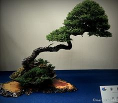 The most incredibly balanced bonsai from all trees of The World Bonsai Convention in Saitama, Japan # japan #onassigment #bonsai #travel