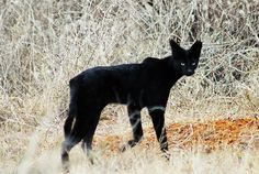 A black or melanised serval. A VERY rare sighting. Pretty Cats, Beautiful Cats, Animals Beautiful, Cute Kawaii Animals, Cute Funny Animals, Cute Cats And Kittens, Big Cats, Serval Cats, Rare Cats