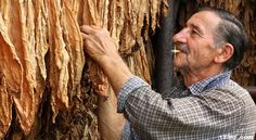 Growing Tobacco: When Seeds Become Smoke
