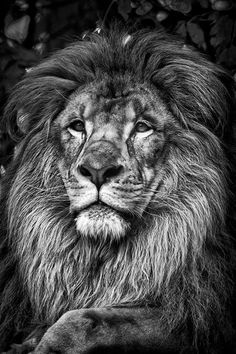 Portrait of a Regal Lion Poster Lion Images, Lion Pictures, Lion Head Tattoos, Tiger Tattoo, Beautiful Creatures, Animals Beautiful, Animals And Pets, Cute Animals, Tattoo Schwarz