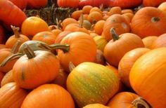 Выращивание тыквы Как вырастить тыкву на даче, сорта тыквы, посадка тыквы, прищипывание. Видео.