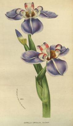 v.23 (1880) - Flore des serres et des jardins de l'Europe - Biodiversity Heritage Library
