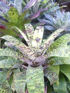 Vriesea Ospinae var. Gruberi Special hybrid - looks like golden dragon