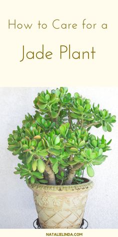 Jade plants are beautiful succulents that are very easy to care for! They make excellent houseplants and can also be grown in outdoor gardens. Learn how to grow jade plants with this simple how-to post! Types Of Succulents, Cacti And Succulents, Planting Succulents, Planting Flowers, Flowering Plants, Propagating Succulents, Growing Succulents, Succulent Care, Succulent Gardening