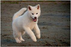 Cachorro de Akita Inu de color blanco