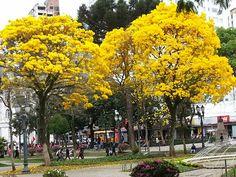 Ipês de Curitiba