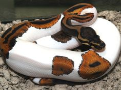 LOOK at this beauty!  A Piebald Python - if only my boyfriend wasnt terrified...