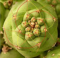 The famous Fibonacci sequence, a series of numbers in which each is the sum of the preceding two (1, 1, 2, 3, 5, 8, . . .), shows up everywhere in nature—in nautilus shells, in pinecones, and now in the structure of cacti.