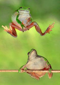 Playing Frogs (Sis & Bro) from Neighbour Rainforest