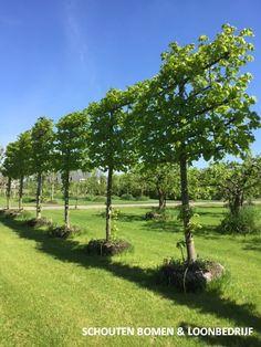 Grote Leilinde/ Leilinden uit het assortiment van Schouten Bomen & Loonebedrijf