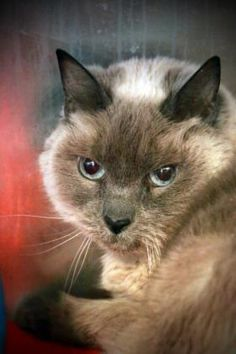 01/24/16 SL~~~Petango.com – Meet Kissa, a 12 years 4 months Siamese / Mix available for adoption in Sheridan, WY