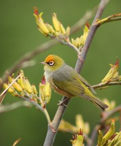 New Zealand Silvereye, Tauhou (zosterops lateralis), photo by Christine Bhe Pretty Birds, Love Birds, Beautiful Birds, Beautiful Pictures, Life List, White Eyes, Reptiles And Amphibians, Exotic Birds, Bird Feathers