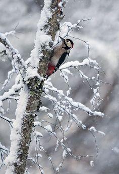 seasonalwonderment:  Downy woodpecker