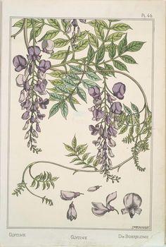 Glycine Creator(s): Grasset, Eugène, 1841-1917 -- Compiler Verneuil, M. P. (Maurice Pillard), 1869- -- Artist