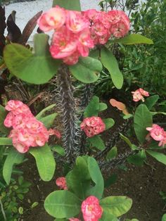 Here are a few care tips and information about your crown of thorns plant…