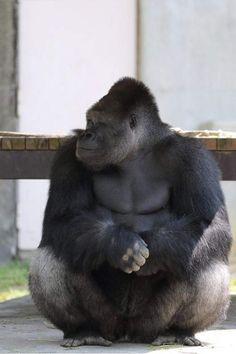 麻豆級《超帥大猩猩》現在的動物園都有教你們擺POSE齁(誤)