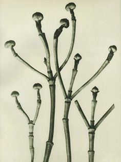 View Cornus Florida, Flowering Dogwood Shoots by Karl Blossfeldt on artnet. Browse more artworks Karl Blossfeldt from Atlas Gallery. Karl Blossfeldt, Vintage Nature Photography, Macro Photography, White Photography, Albert Renger Patzsch, Pacific Dogwood, Natural Form Art, White Plants, Nature Plants