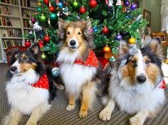 Sheltie Christmas