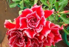 """Muda de Rosa do Deserto Enxertada(Adenium Obesum) – TW-2. A Muda já teve sua primeira floração. Para maiores detalhes da cor da florveja o vídeo da cor da flor no final deste anúncio. Mudas enxertadas são o resultado da Técnica de Enxertia onde um """"Cavalo"""" (uma planta da mesma espécie) recebe um """"Cavaleiro"""" (material genético) …"""