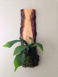 Twig Live-Edge Hardwood Planter Staghorn Fern #gardeningindoors