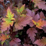Centerglow Ninebark - I just got one of these shrubs for my backyard, just in time to watch the colors change!