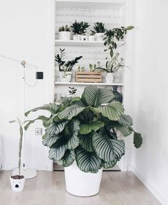 "Calathea – Die Schönheit aus dem Urwald I am often asked what the ""big plant"" that lives with us means. The answer is Calathea or [. Diy Interior, Interior Plants, Big Indoor Plants, Big Plants, Living Room Plants, House Plants, Calathea Lancifolia, Calathea Orbifolia, Luz Solar"