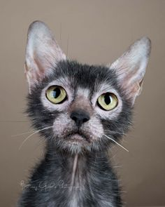 That face, from Lykoi Cats ~ The Original Lykoi Breeder