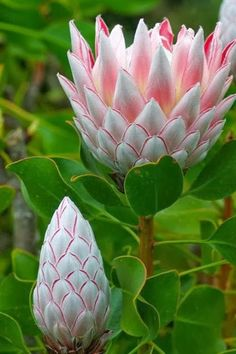Flower Garden Protea - have to have them in my garden! - Flowers have a way to bring life to their surroundings and the more beautiful flowers we surround ourself with the happier we are! Here are 50 most beautiful flowers in the world! Unusual Flowers, Most Beautiful Flowers, Pretty Flowers, Simply Beautiful, Purple Flowers, Prettiest Flowers, Strange Flowers, Beautiful Gorgeous, Small Flowers