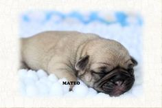 """Fairytailpuppies """"where pets are family too - MATEO"""