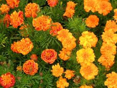 Marigolds are most commonly thought to be the little orange and yellow flowers everybody grows because everybody can grow them. Their tolerance for less-than-perfect soil conditions, their ability …