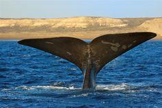 PUERTO MADRYN Puerto Madryn es una de las principales puertas de entrada a la Patagonia Argentina. Ubicada a unos 1.300 kilómetros de Buenos Aires, Puerto Madryn es una ciudad con mucho para ofrecer y con la mayor diversidad de flora y fauna del país. Dejate sorprender por la ballena Franco Austral y la Pingüinera de Punta Tombo. También, por los paisajes increíbles de la Península de Valdéz.