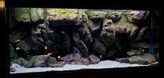 Over members talking cichlids Biotope Aquarium, Cichlid Aquarium, Diy Aquarium, Aquarium Design, Aquarium Decorations, Rock Background, Aquarium Backgrounds, Diy Tank, African Cichlids