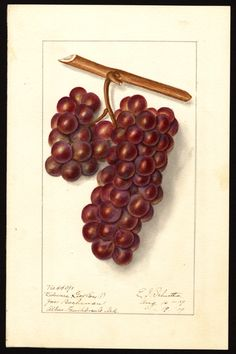 "Artist: Schutt, Ellen Isham, 1873-1955  Scientific name: Vitis  Common name: grapes  Geographic origin: Altus   ""U.S. Department of Agriculture Pomological Watercolor Collection. Rare and Special Collections, National Agricultural Library, Beltsville, MD 20705"""