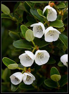 Eucryphia milliganii I Dwarf Leatherwood Australian Native Garden, Australian Native Flowers, Australian Plants, Exotic Flowers, White Flowers, Beautiful Flowers, Colorful Flowers, Garden Trees, Garden Plants