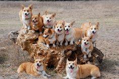 A whole bunch of happy Corgis on a rock #corgi