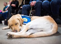 """GOOD BOY! FEB 18, 2016 Odie, Labrador/Golden Retriever mix (2 y/o), CCI Graduation, Medford, NY • """"We have a program that provides free boating excursions for the disabled. He's going to help pull the lines in and have an overall calming effect on the other handicapped people on the boat."""" Kipsboat.org"""
