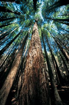 The Hawaiian Redwoods: Nature's neck stretch.