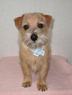 my lovely Norfolk terrier