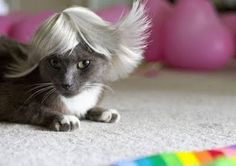 cats in wigs | Here are heaps of hilarious cats in wigs!