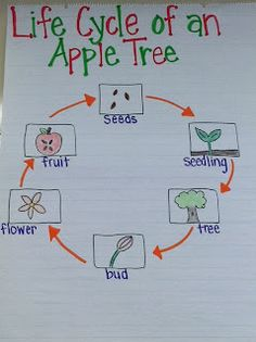 Chart explaining the life cycle of an apple tree. Can be done with multiple different plants. Incorporates new plant vocabulary into the science lesson. First Grade Science, Kindergarten Science, Science Classroom, Teaching Science, Science For Kids, Kindergarten Apples, Classroom Ideas, Teaching Ideas, Tree Life Cycle