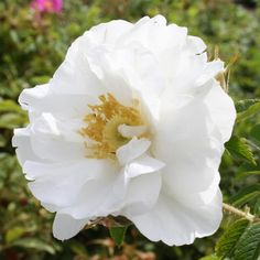 """""""Schneezwerg"""" Roses/Rugosa at the Wairere Nursery Online Store"""