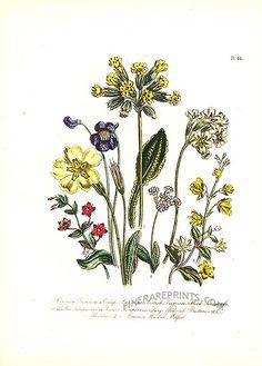 Antique print: picture of Common Primrose, Oxlip, Cowslpi, Scottish Primrose, Wood Loosestrife - Scarlet Pimpernel, Butterwort, Bladderwort and Common Hooded Milfoil
